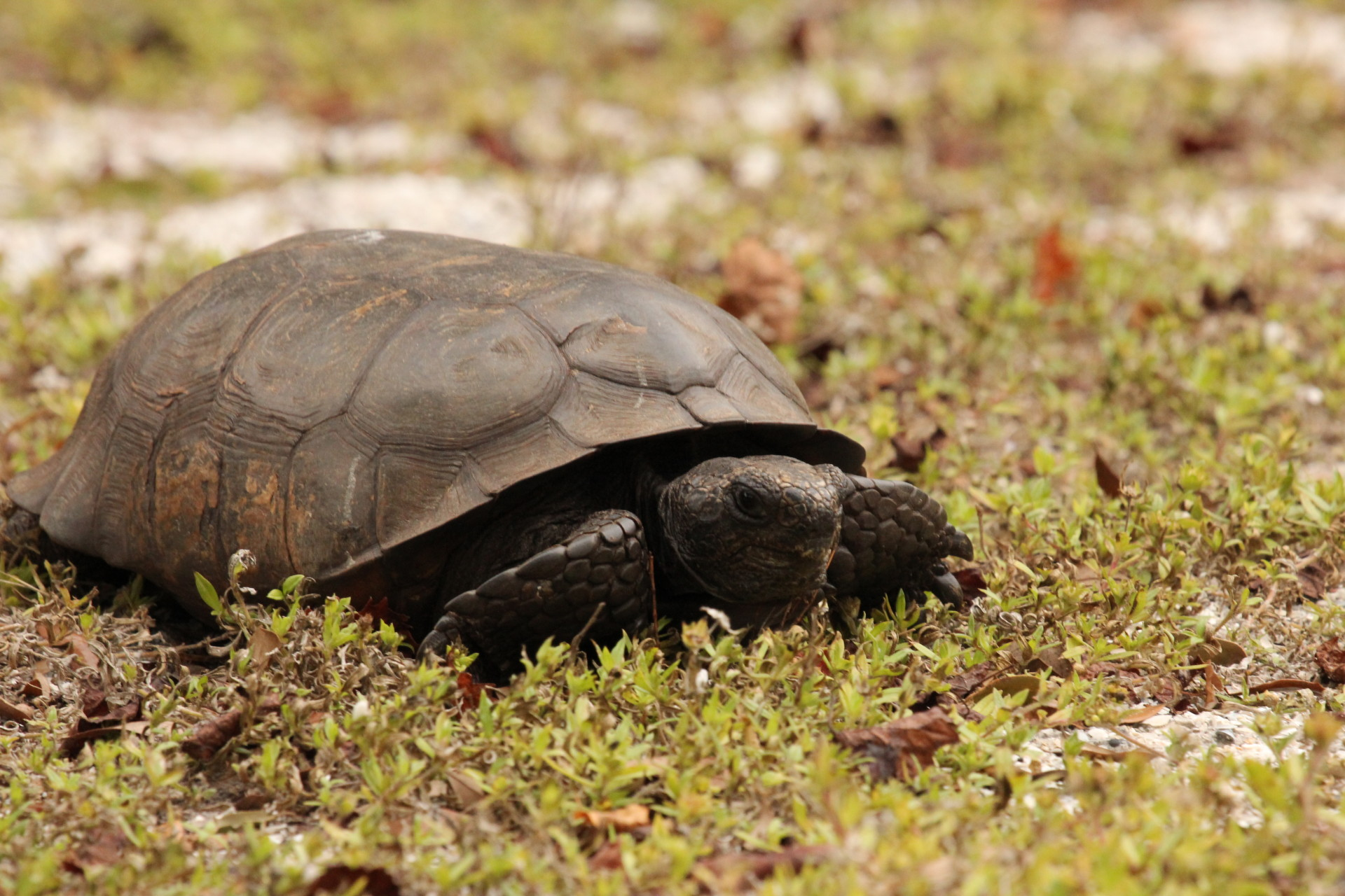 Gopher Tortoise in Lemon Bay