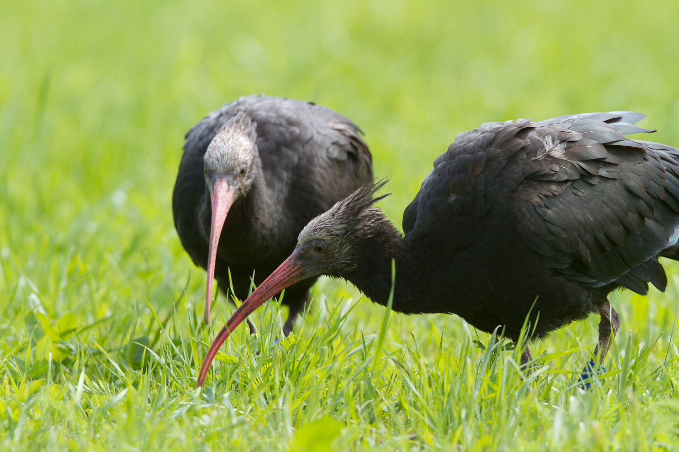Northern Bald Ibis eat insects, worms and grubs. They normally nest high in the mountains.