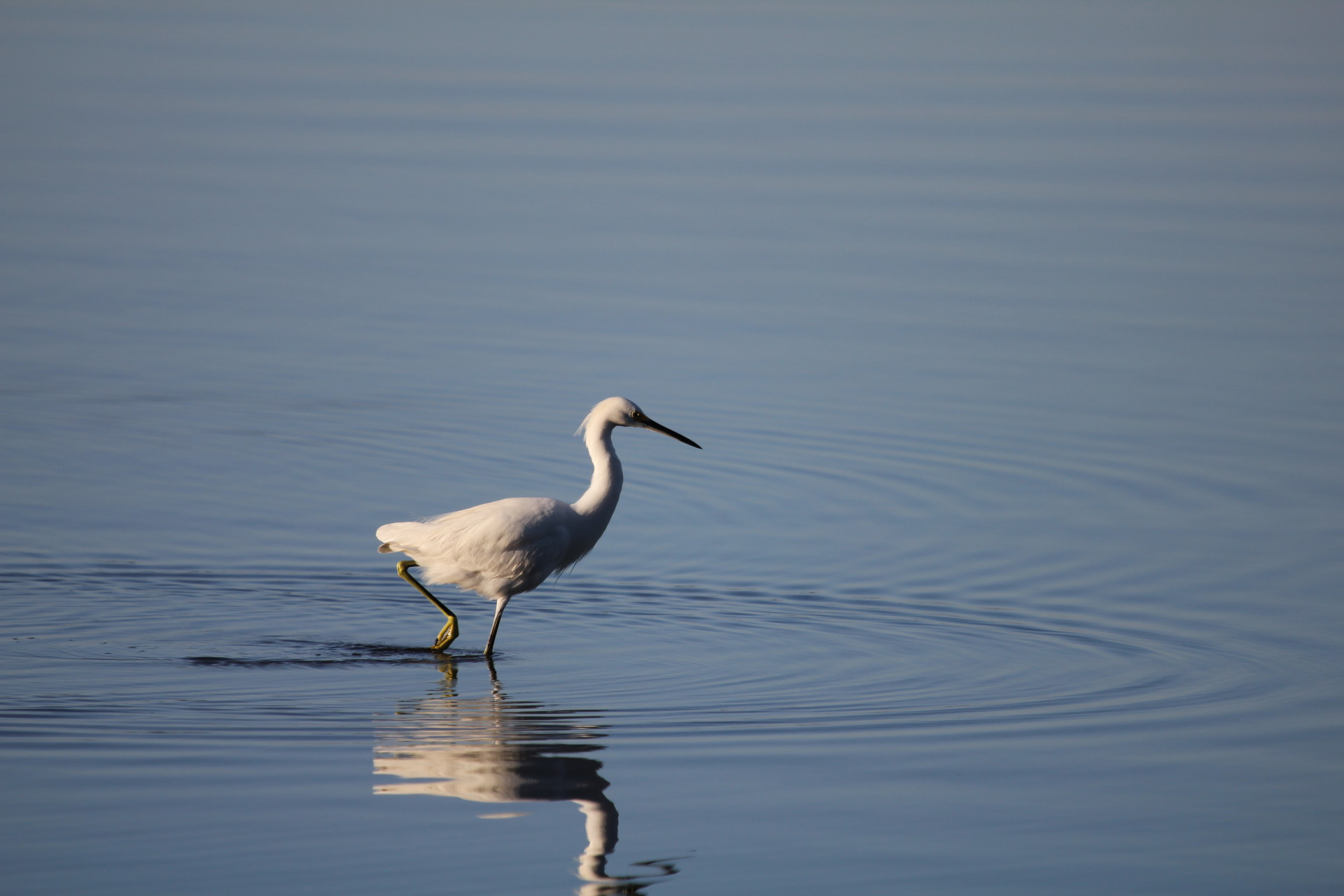 A wading Snowy Egret in Lemon Bay