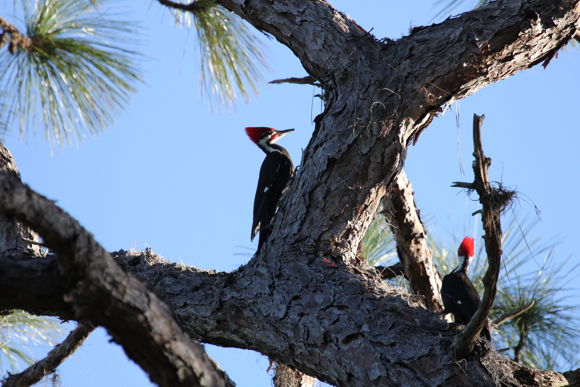 Two Pileated Woodpecker in Lemon Bay Park