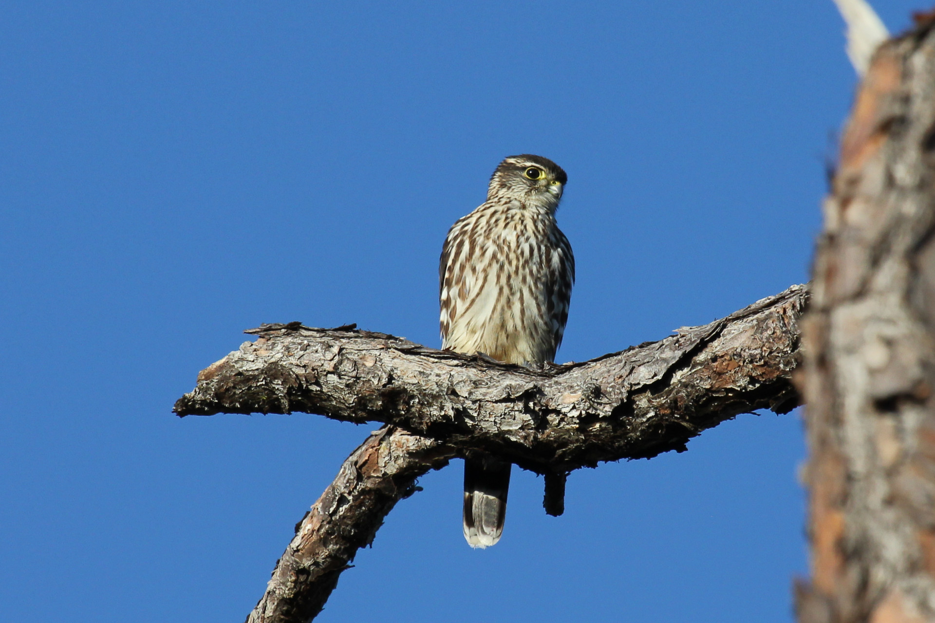 Merlin in Oyster Creek