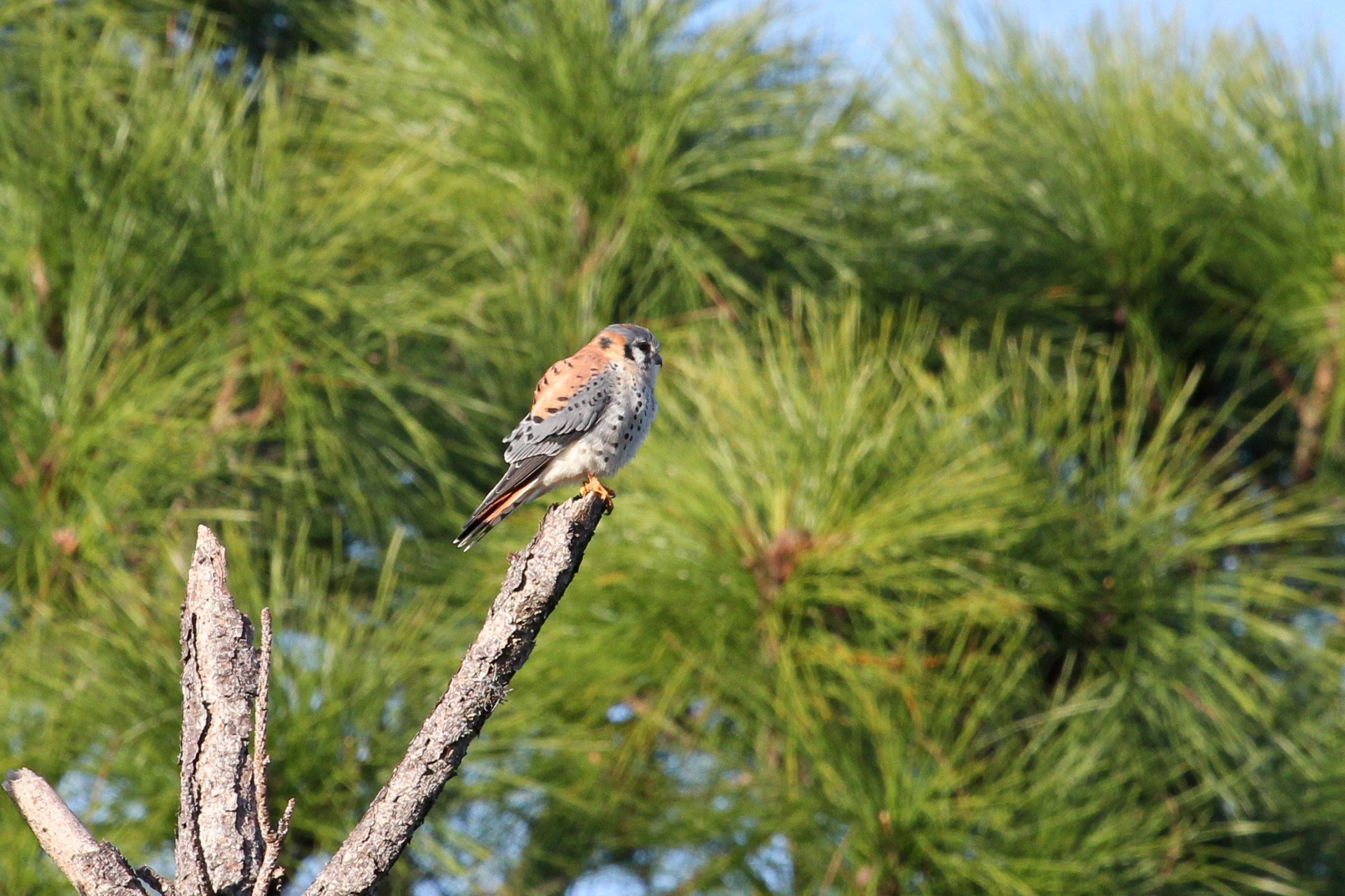 American Kestral (Sparrow hawk), Cedar Point Environmental Park, Englewood