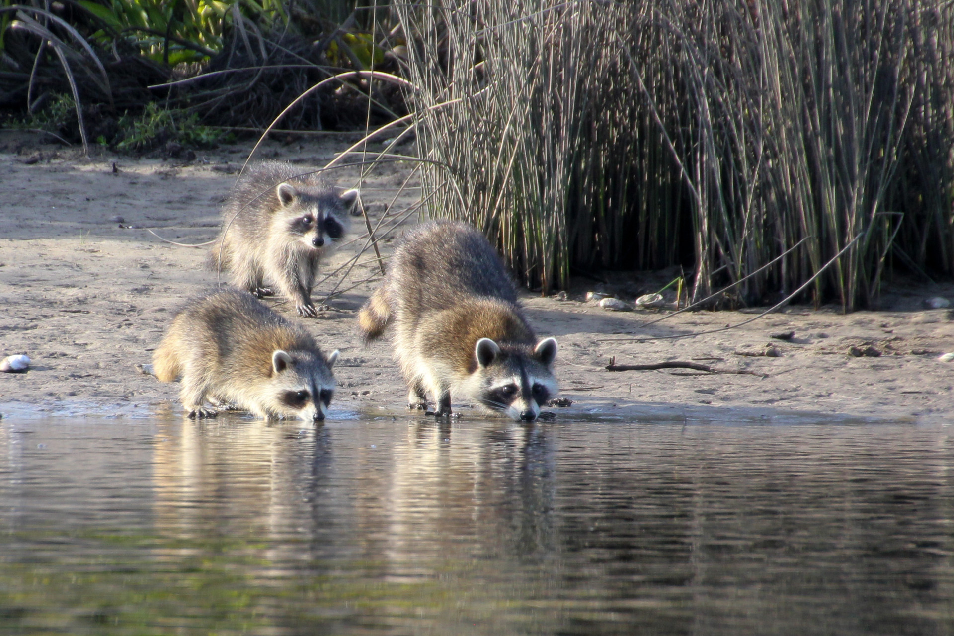 A family of Racoon on the Myakka River