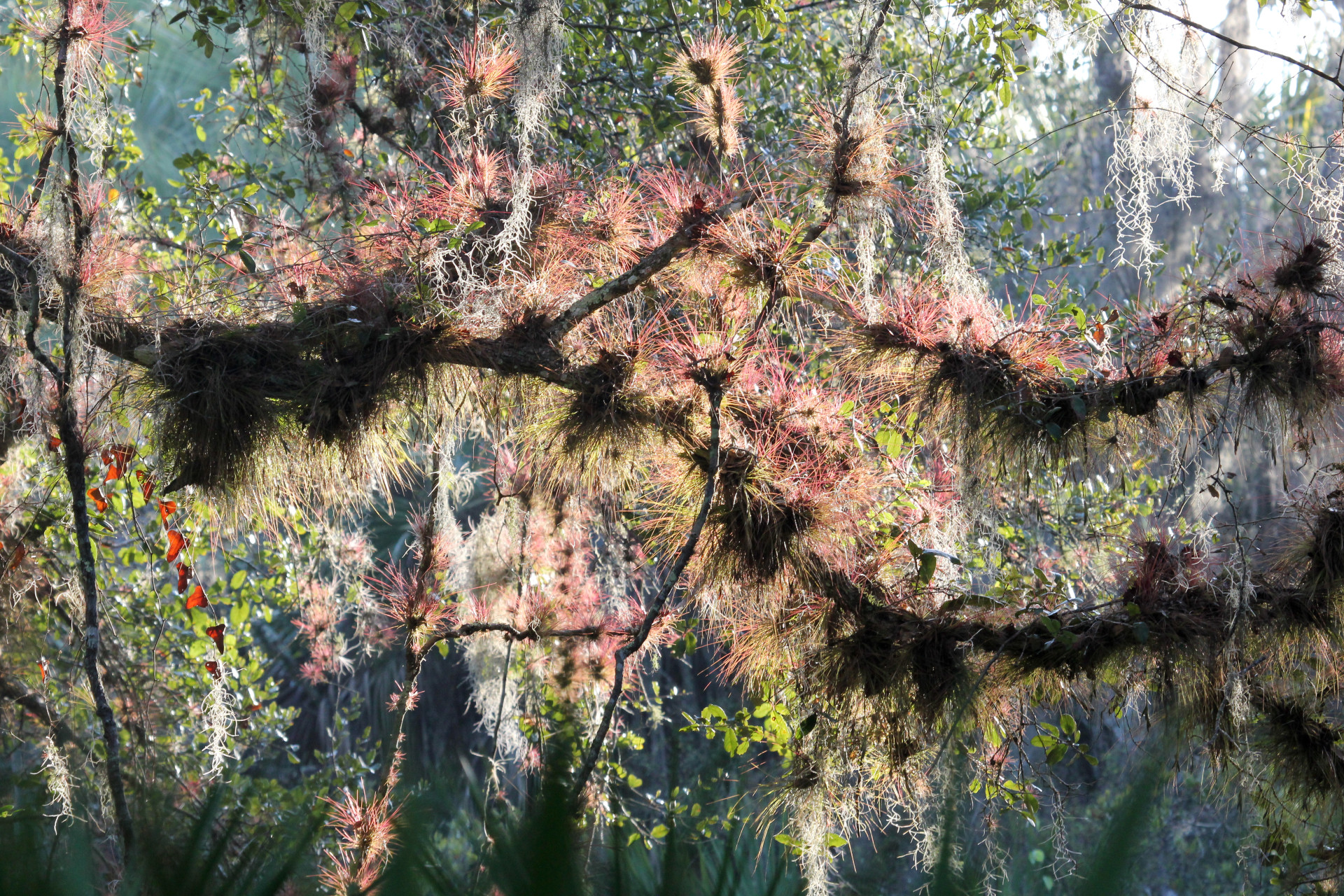 Cardinal Epiphytes on the Myakka River