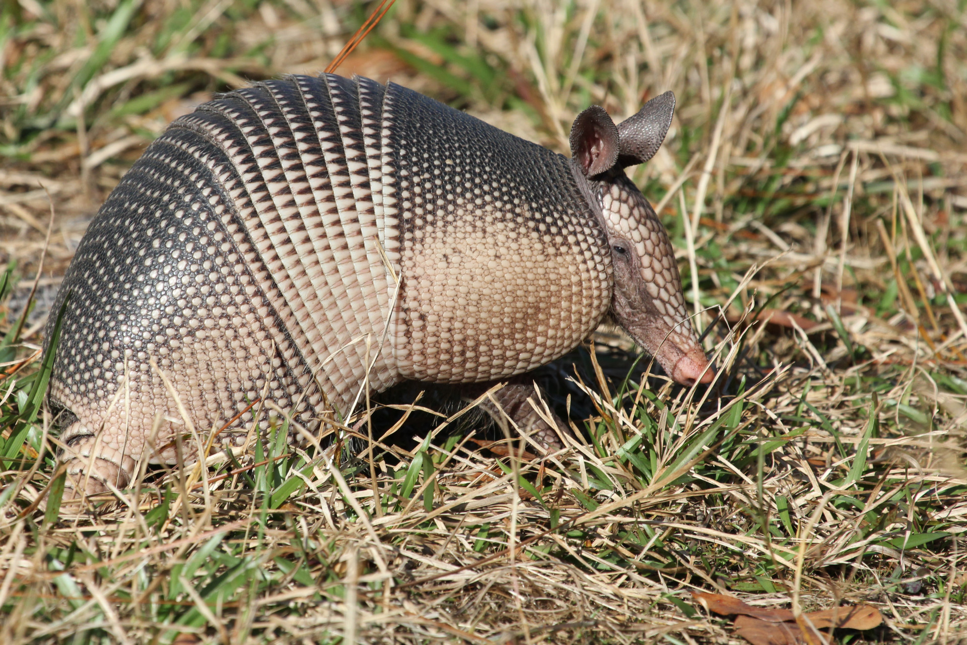 Armadillo in Jelks Preserve