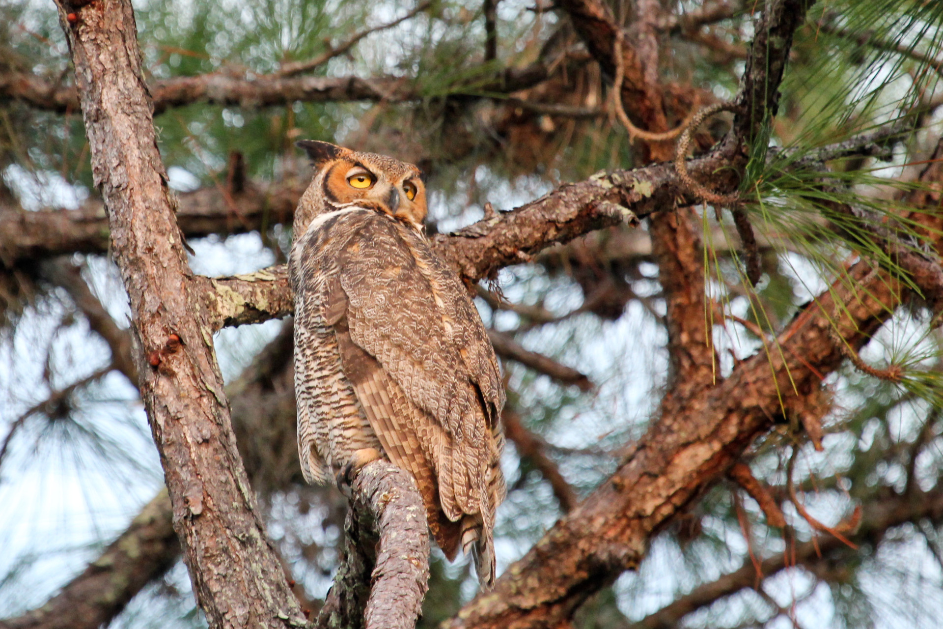 Great Horned Owl, Englewood