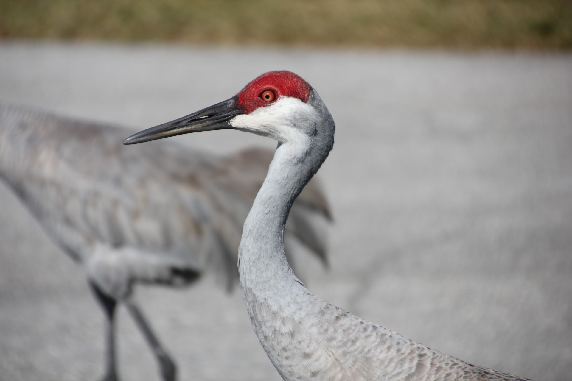 Sandhill Crane frequently walk the streets in Florida neighborhoods