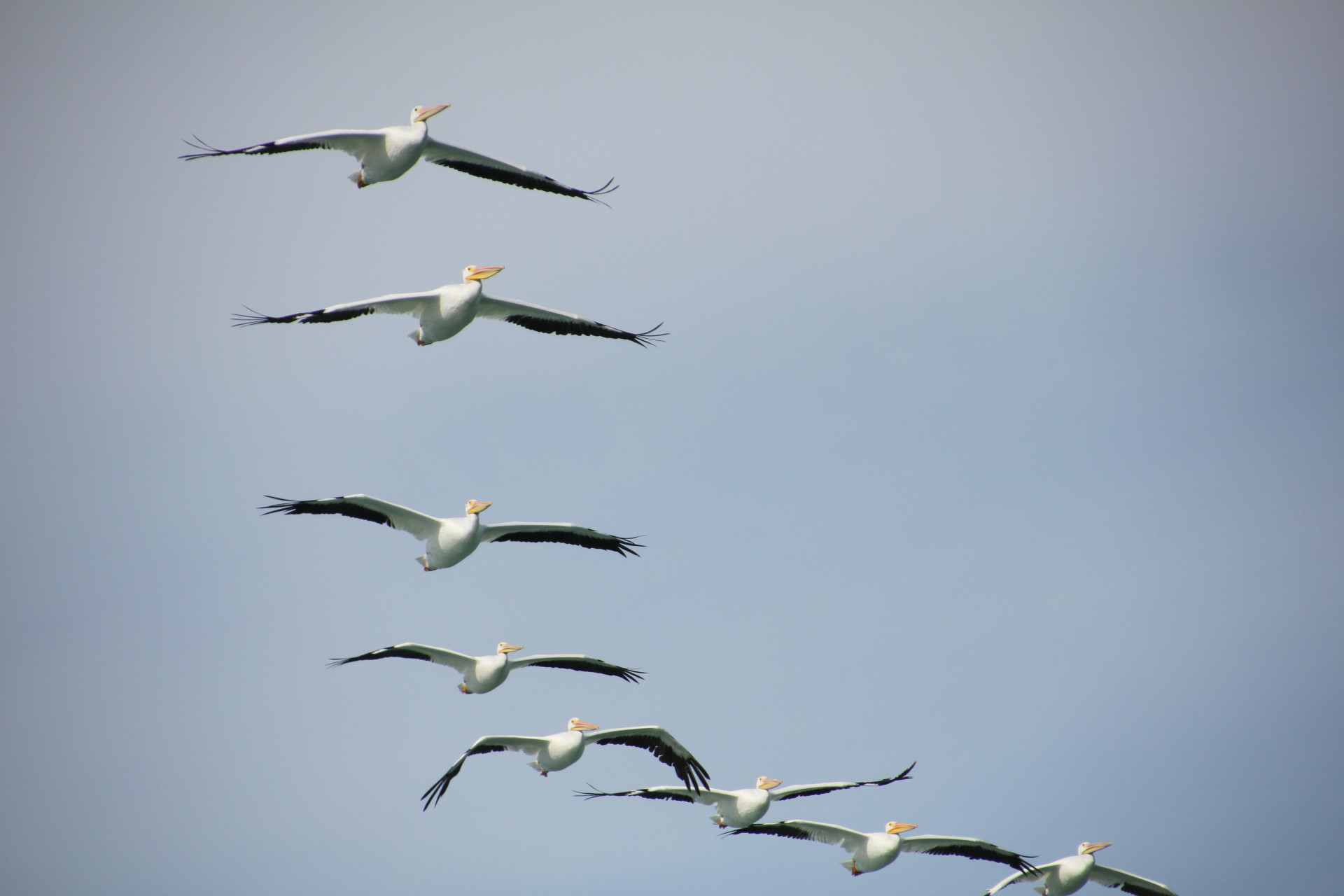 American White Pelican in Lemon Bay