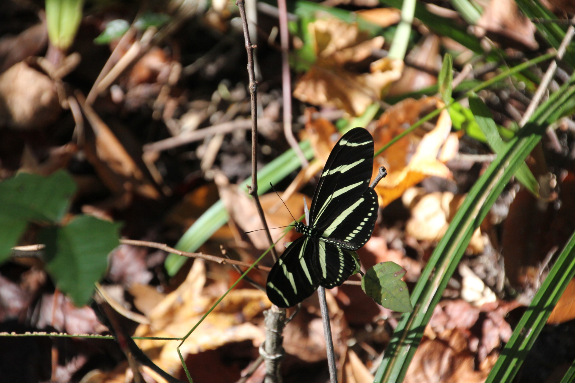 Zebra Longwing in Corkscrew