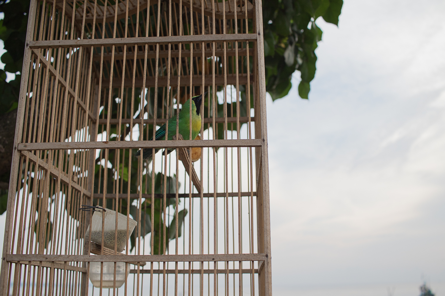Many homes and businesses have caged birds to bring luck. Harvested right from the forest!