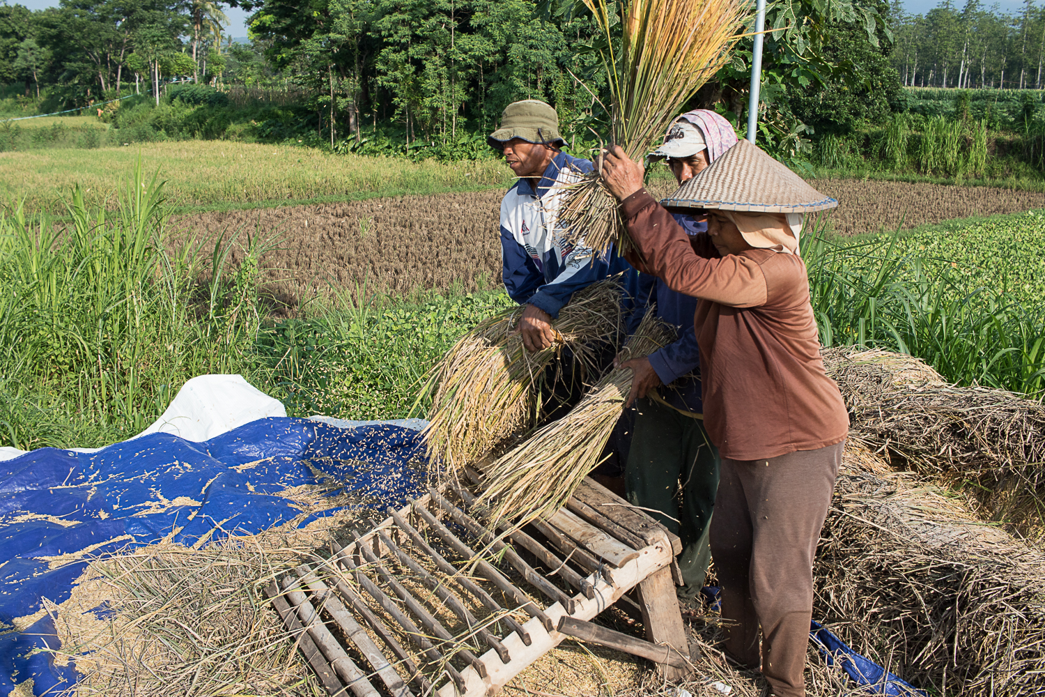 Rice harvesting is done by hand.