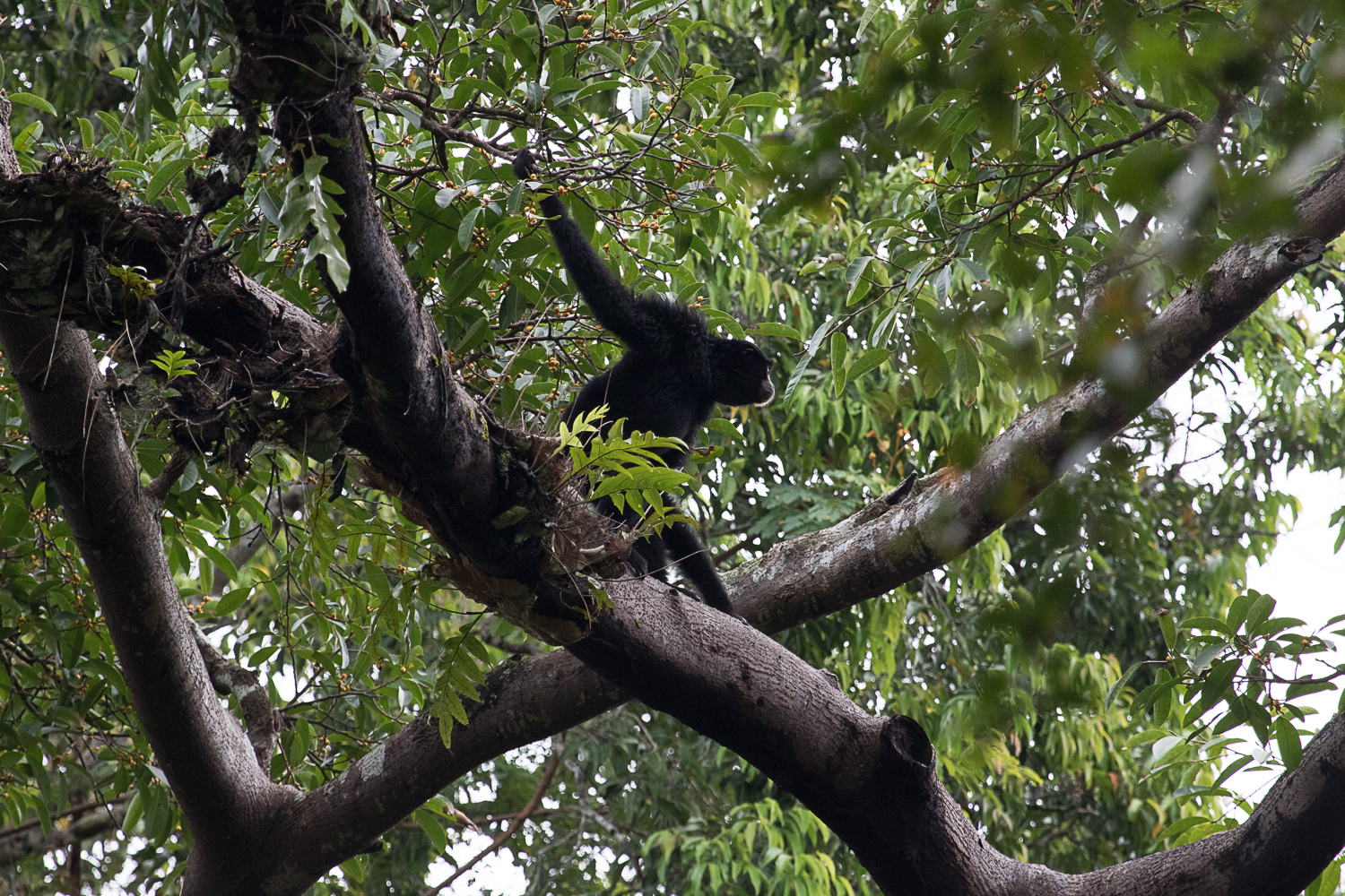 ... and Siamang Gibbon.