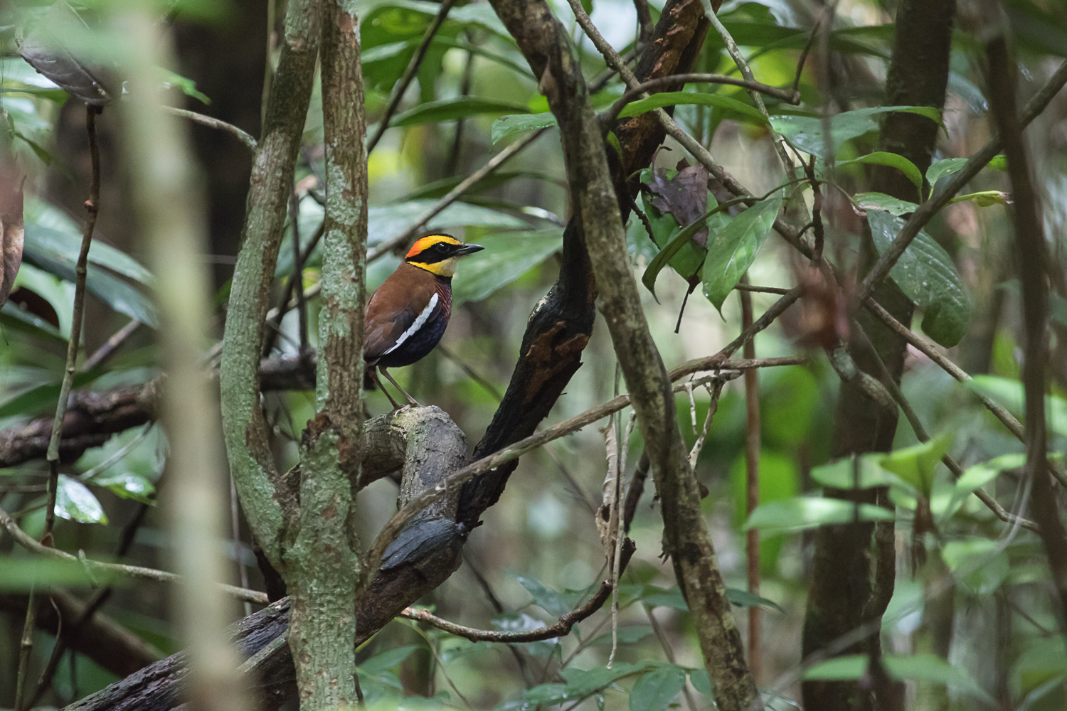 Malayan Banded Pitta in Way Kambas