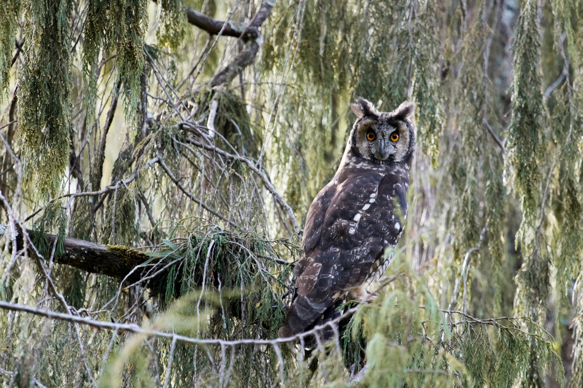 The endemic Abyssinian Owl
