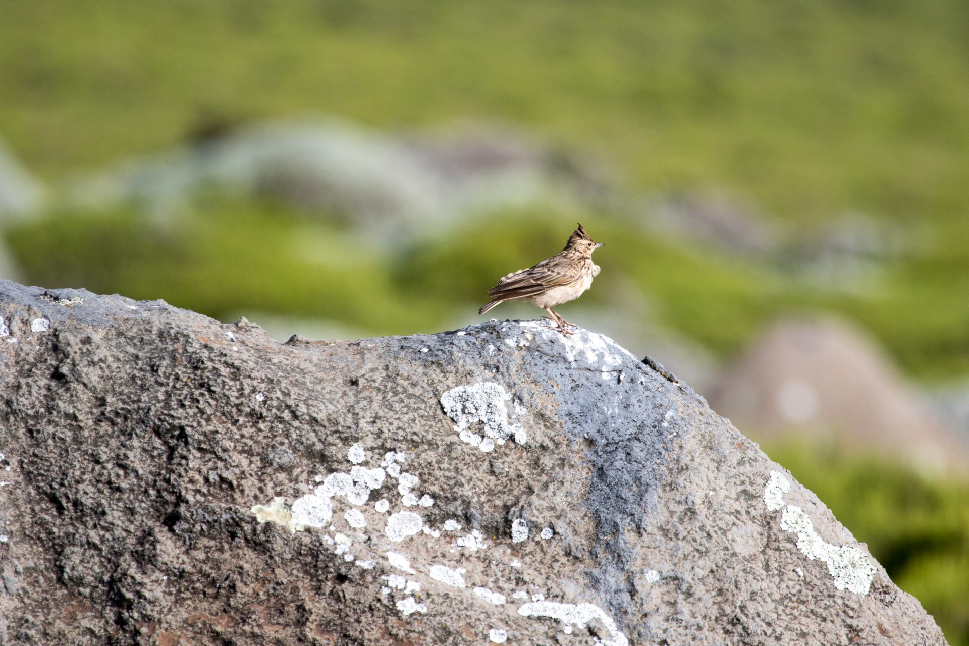Thekla Lark in Bale National Park