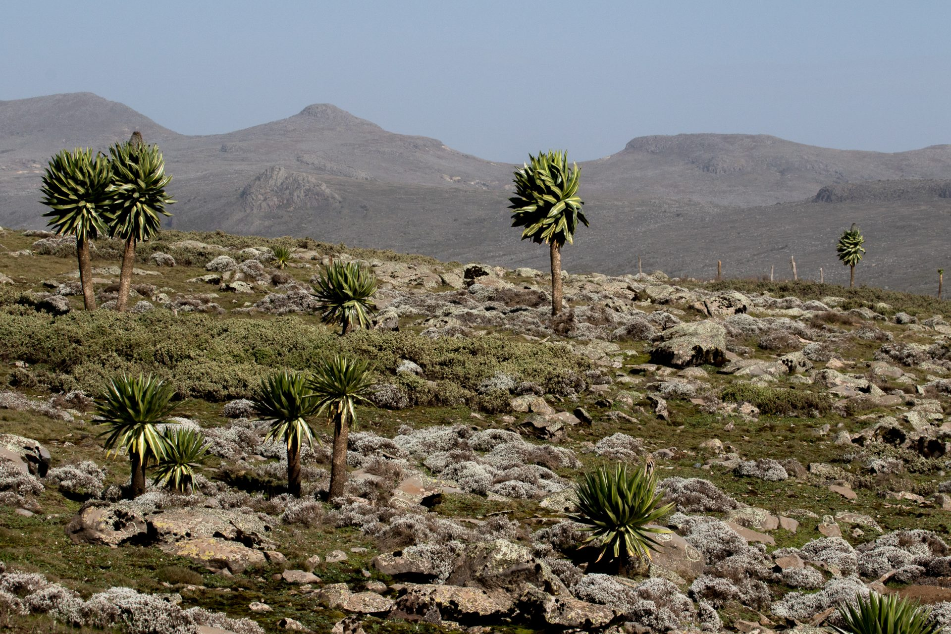Giant Lobelias trees on the Sanetti Plateau in Bale National Park at 4,000 m elevation.