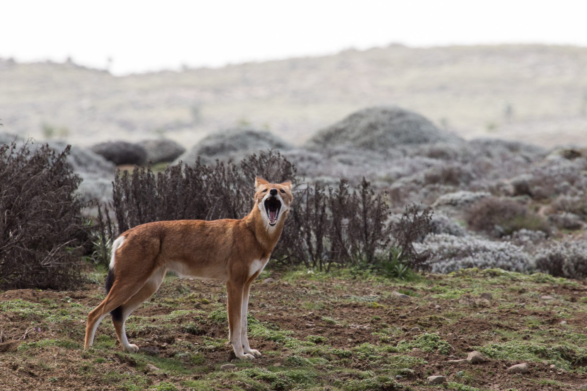 The endemic Ethiopian Wolf