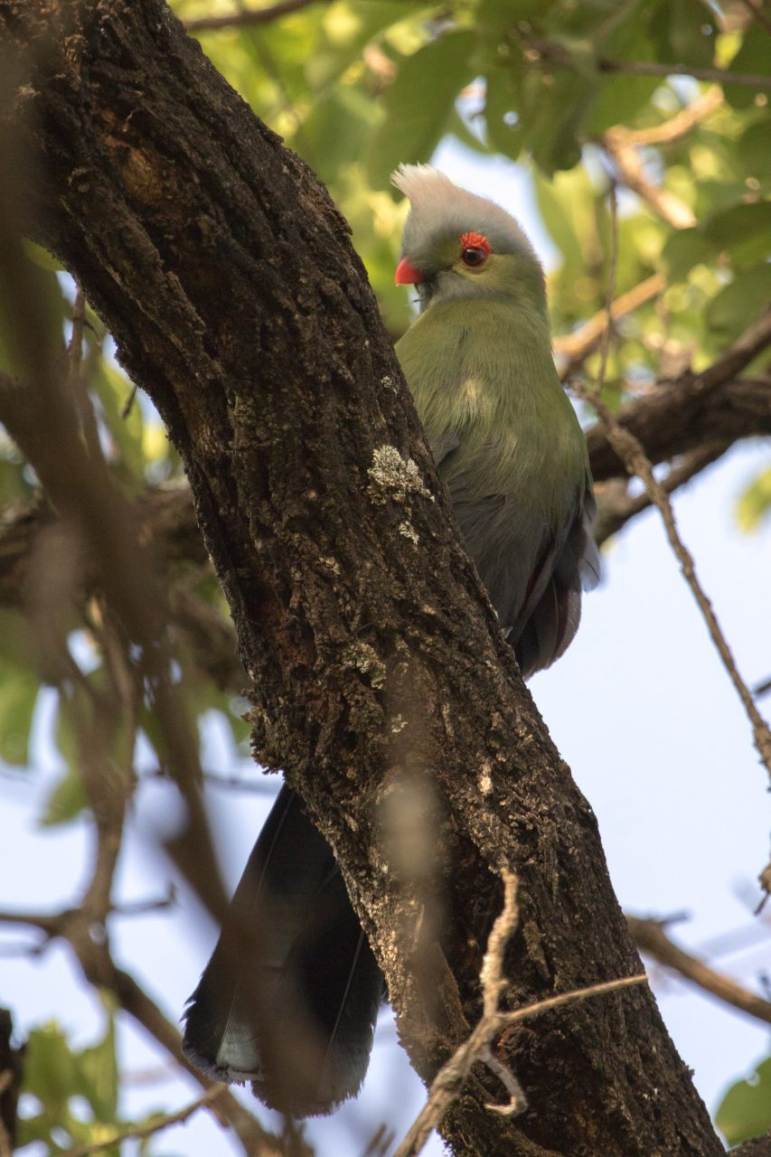 The endemic and resplendent Prince Ruspoli's Turaco