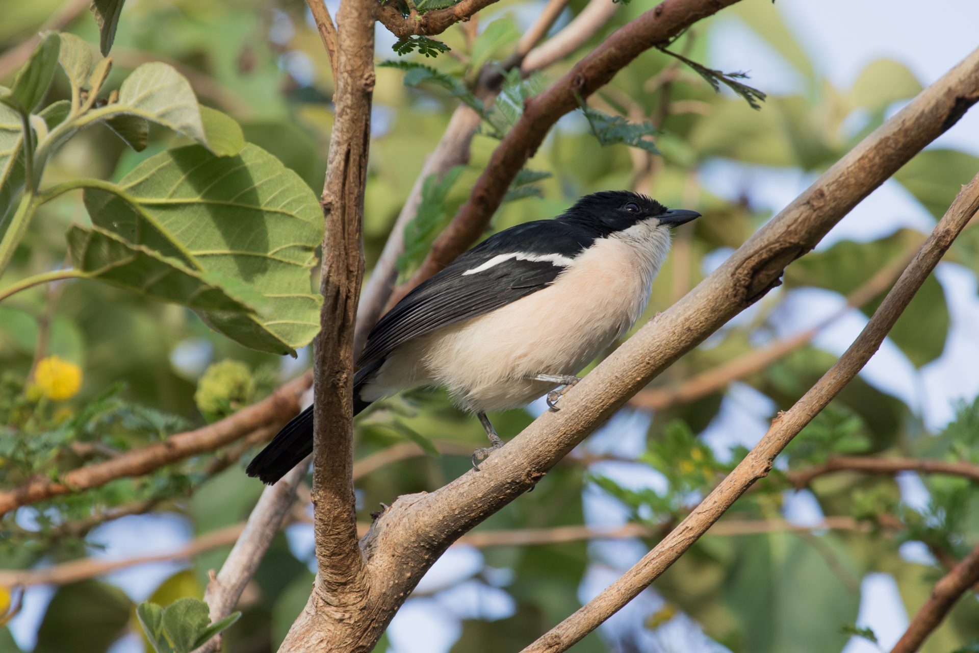 The endemic Ethiopian Boubou near Lake Ziway in the Rift Valley