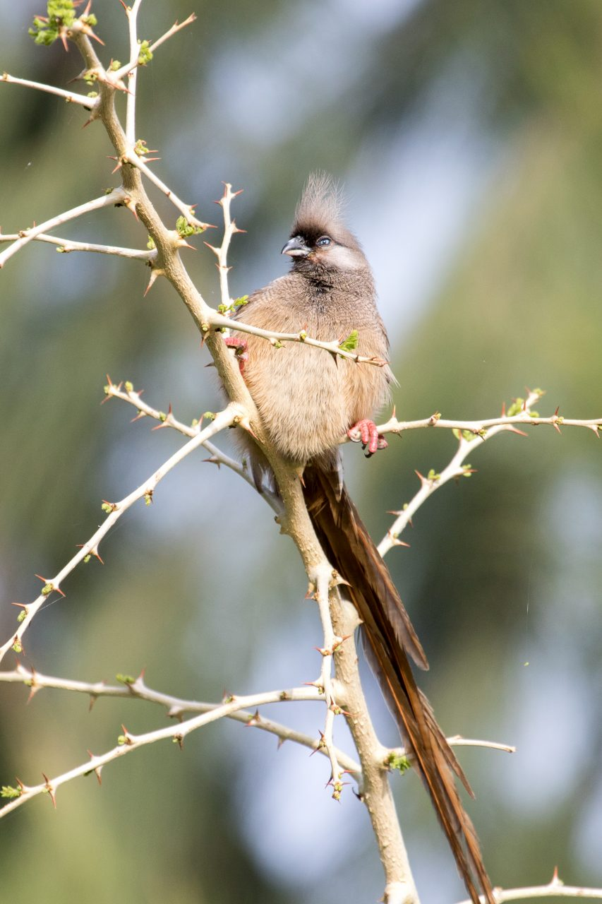 Speckled Mousebird.
