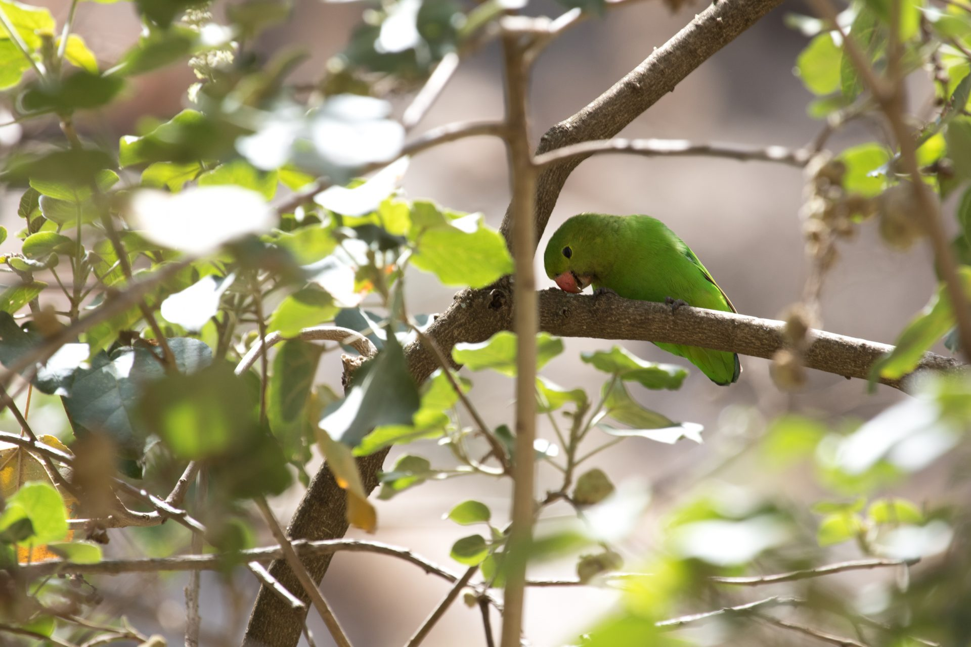 The endemic Black-winged Lovebird is common throughout.