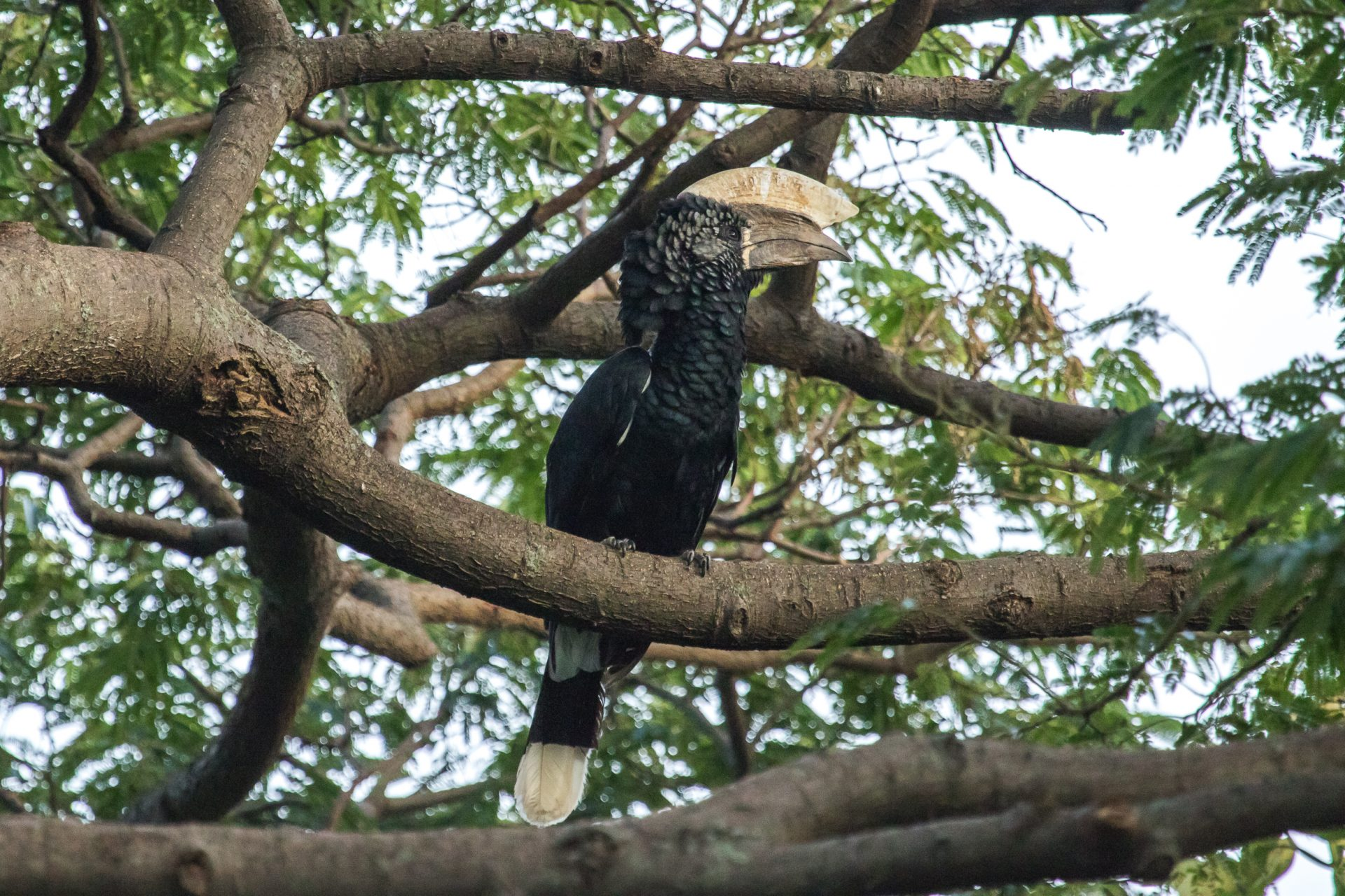 The dinosaur-like Silvery-cheeked Hornbill