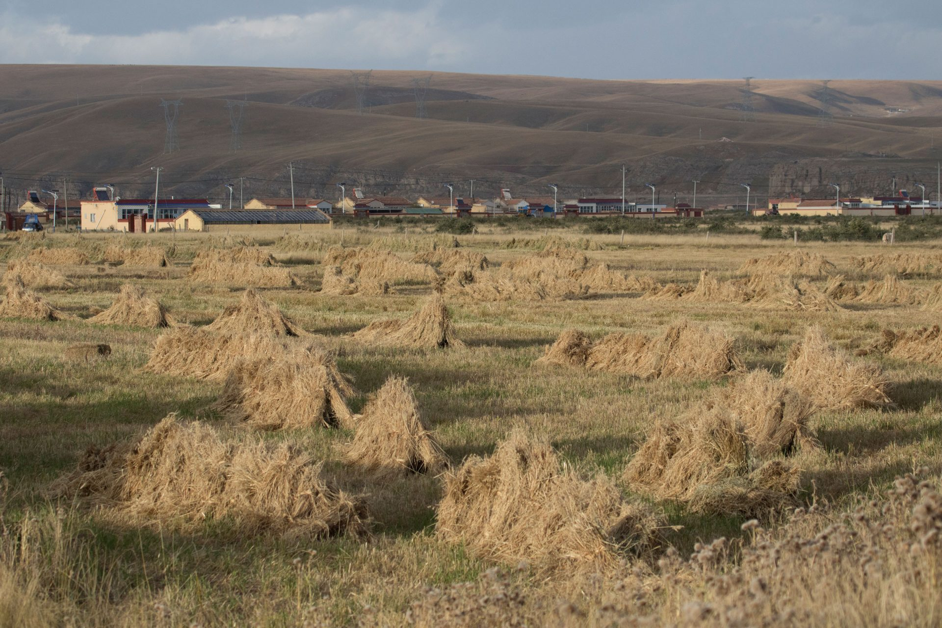 Grass drying on the outskirts of town near Qinghai Lake