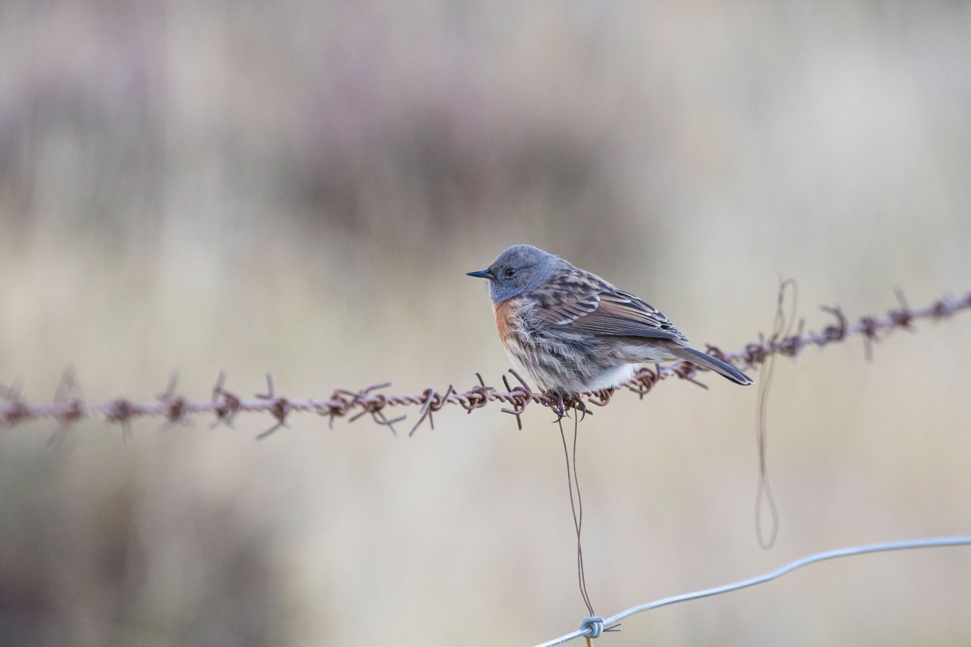 Robin accentor was very common near Qinghai Lake.