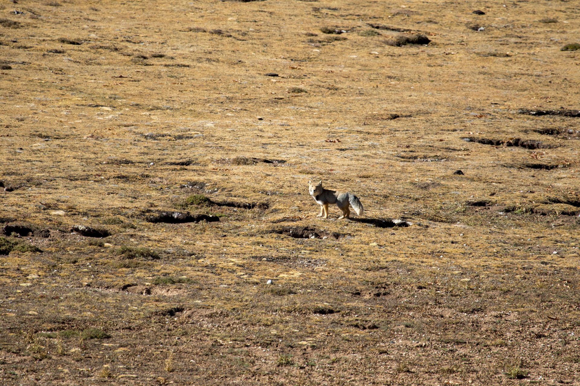 Tibetan Fox were a familiar sight.