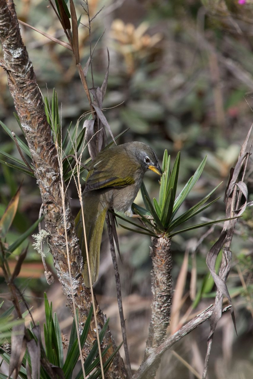 Pale-Throated Pampa Finch is another speciality at Santuario do Caraca.