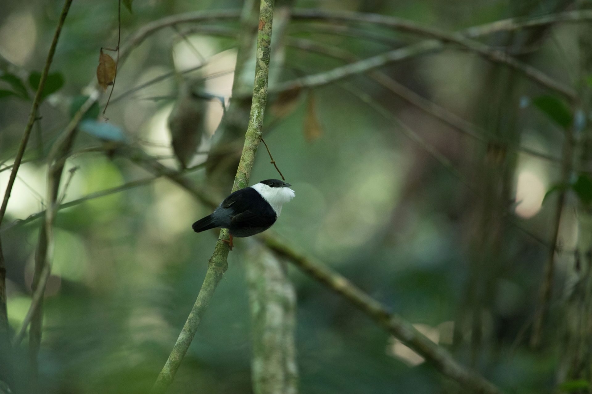 White-Bearded Manakin was an amazing dancer.