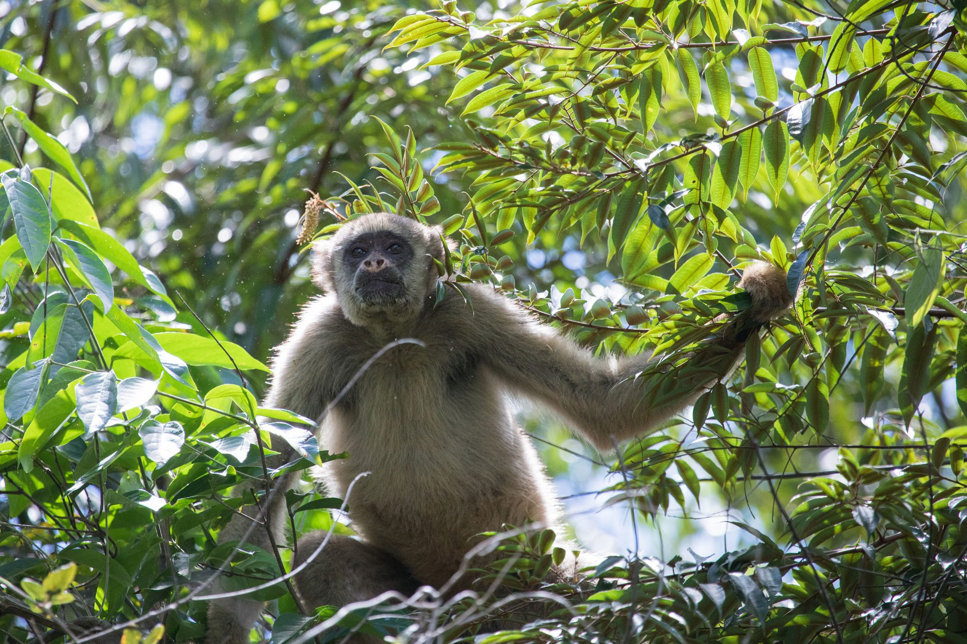 Muriqui, South America's largest primate, at the Feliciano Abdala Biological Reserve.
