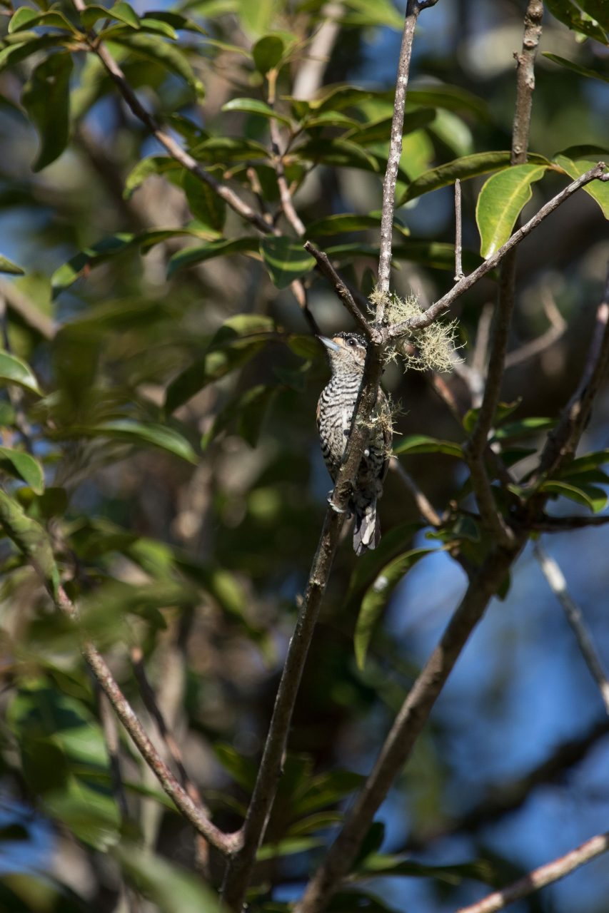 White-Barred Piculet was fairly common in mixed feeding parties.