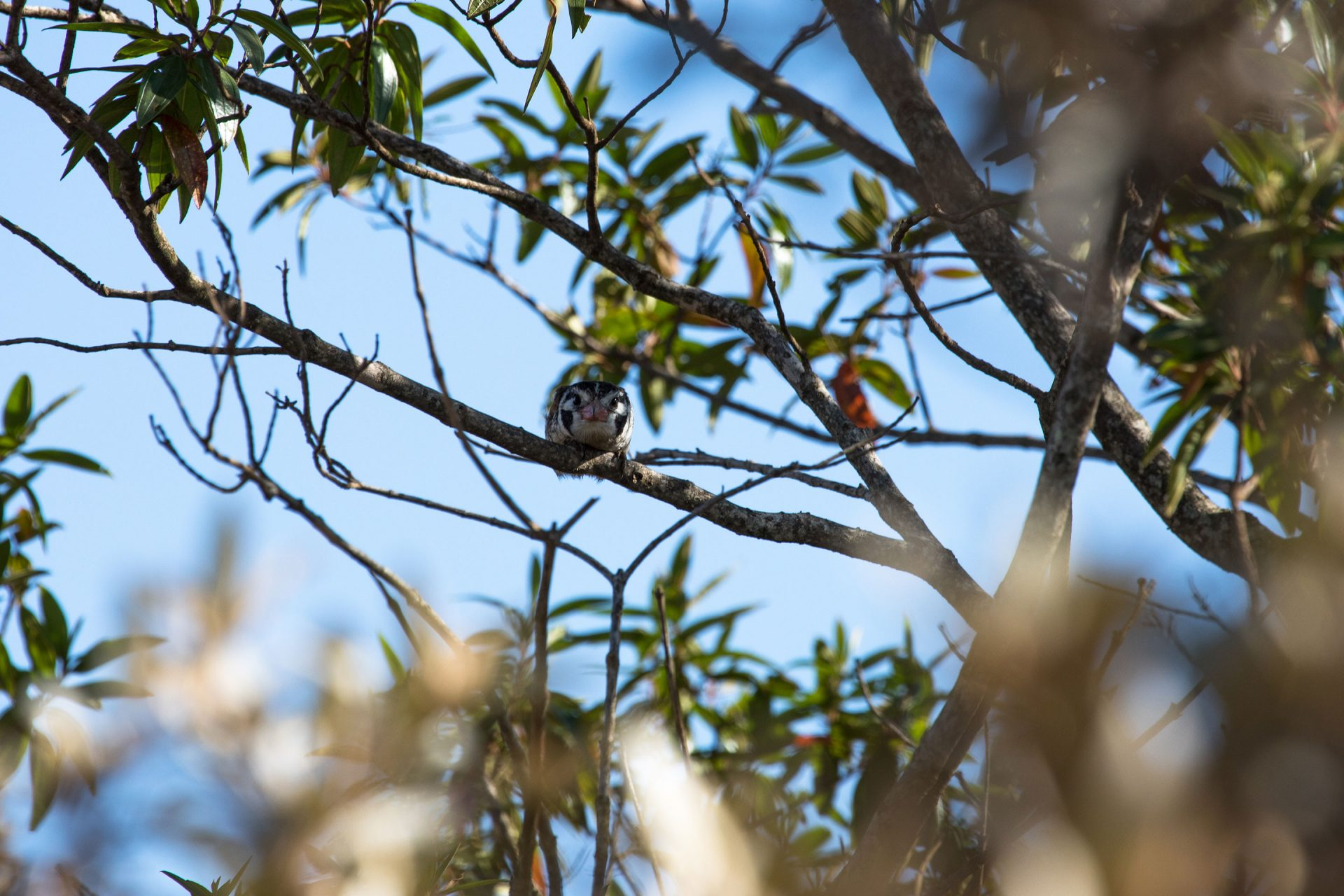 White-eared Puffbird was uncommon during our visit.
