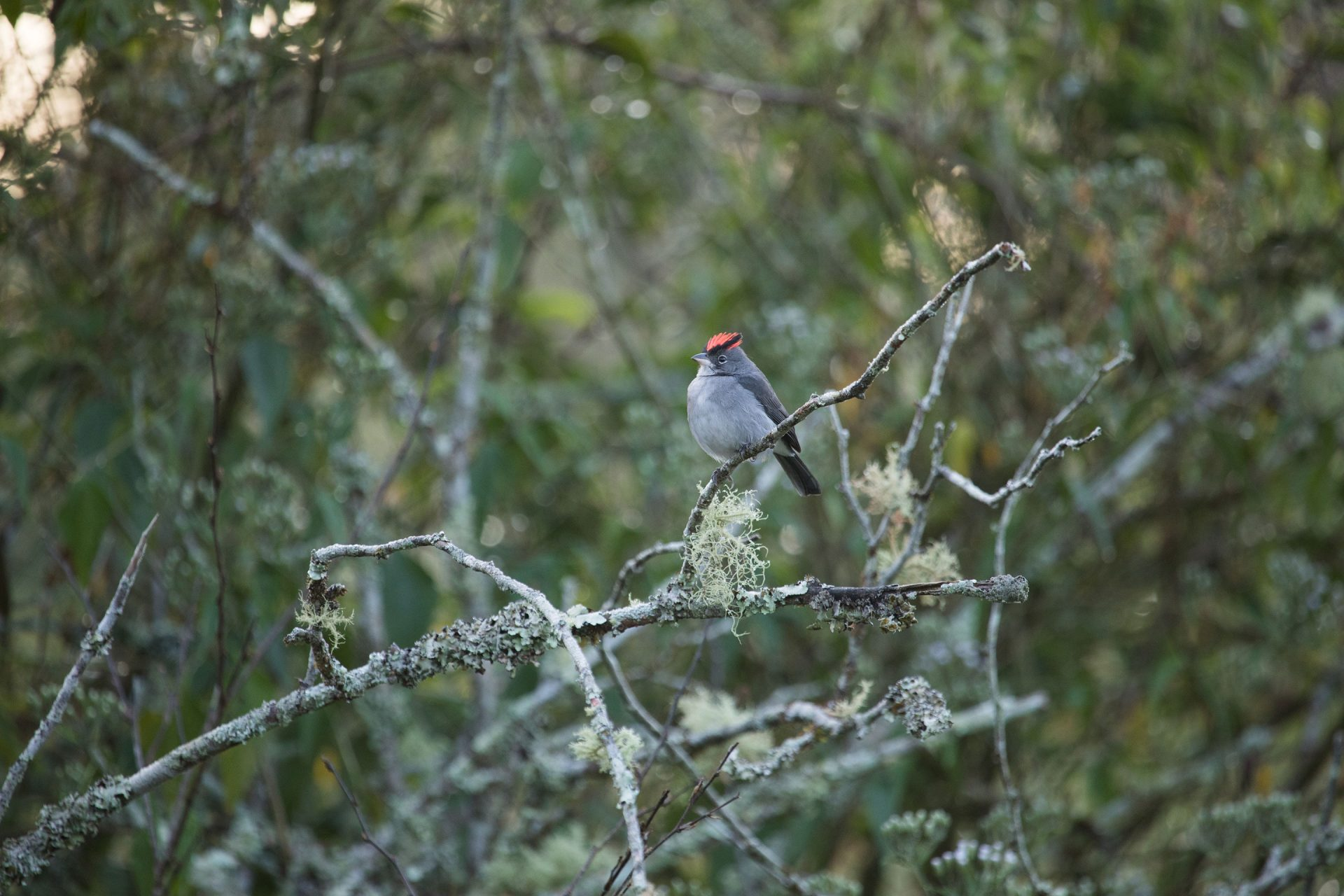Gray Pileated Finch was common near the river below.