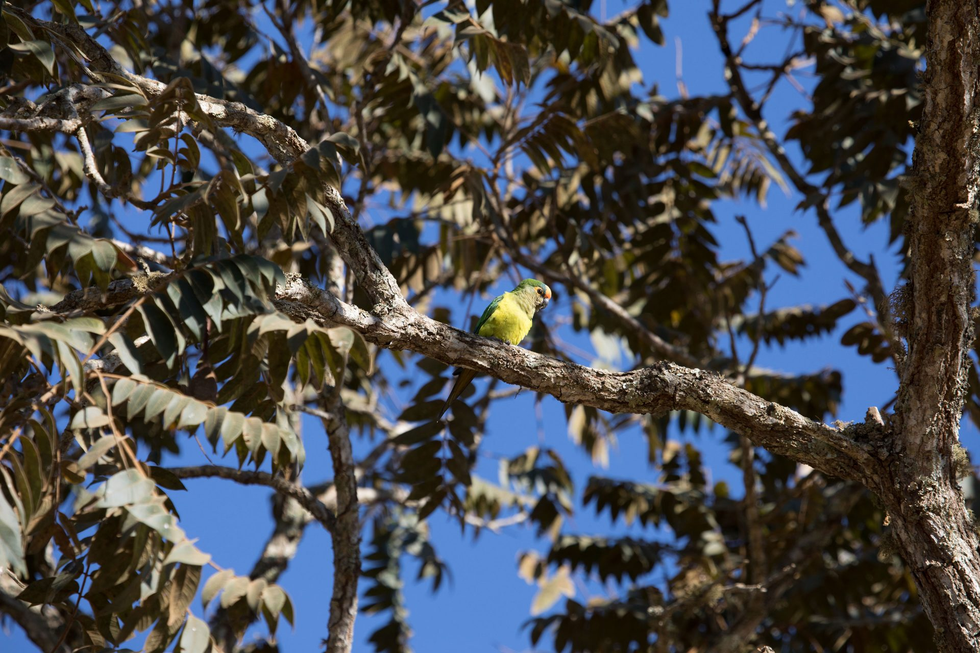 Peach-Fronted Parakeet was common along the roadsides.