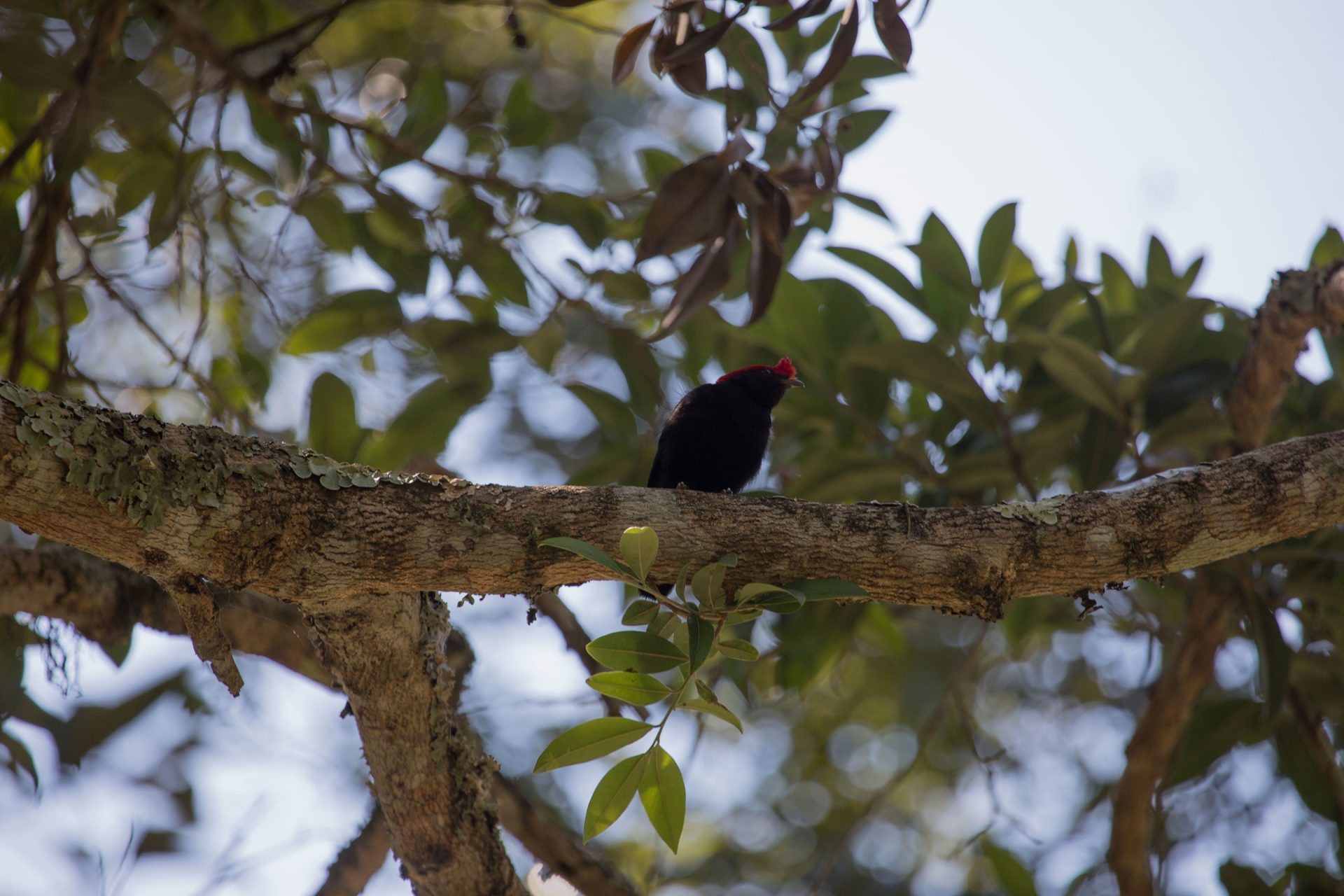 Helmeted Manakin was located in the forest near the waterfall at Canastra.
