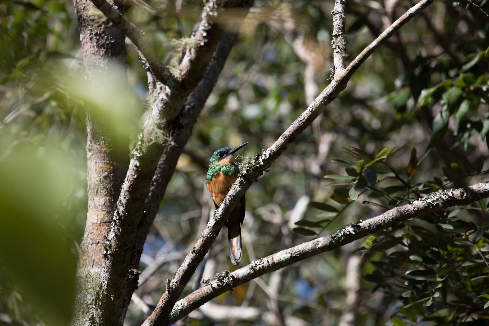 Rufous-Tailed Jacamar was common and confiding everywhere.