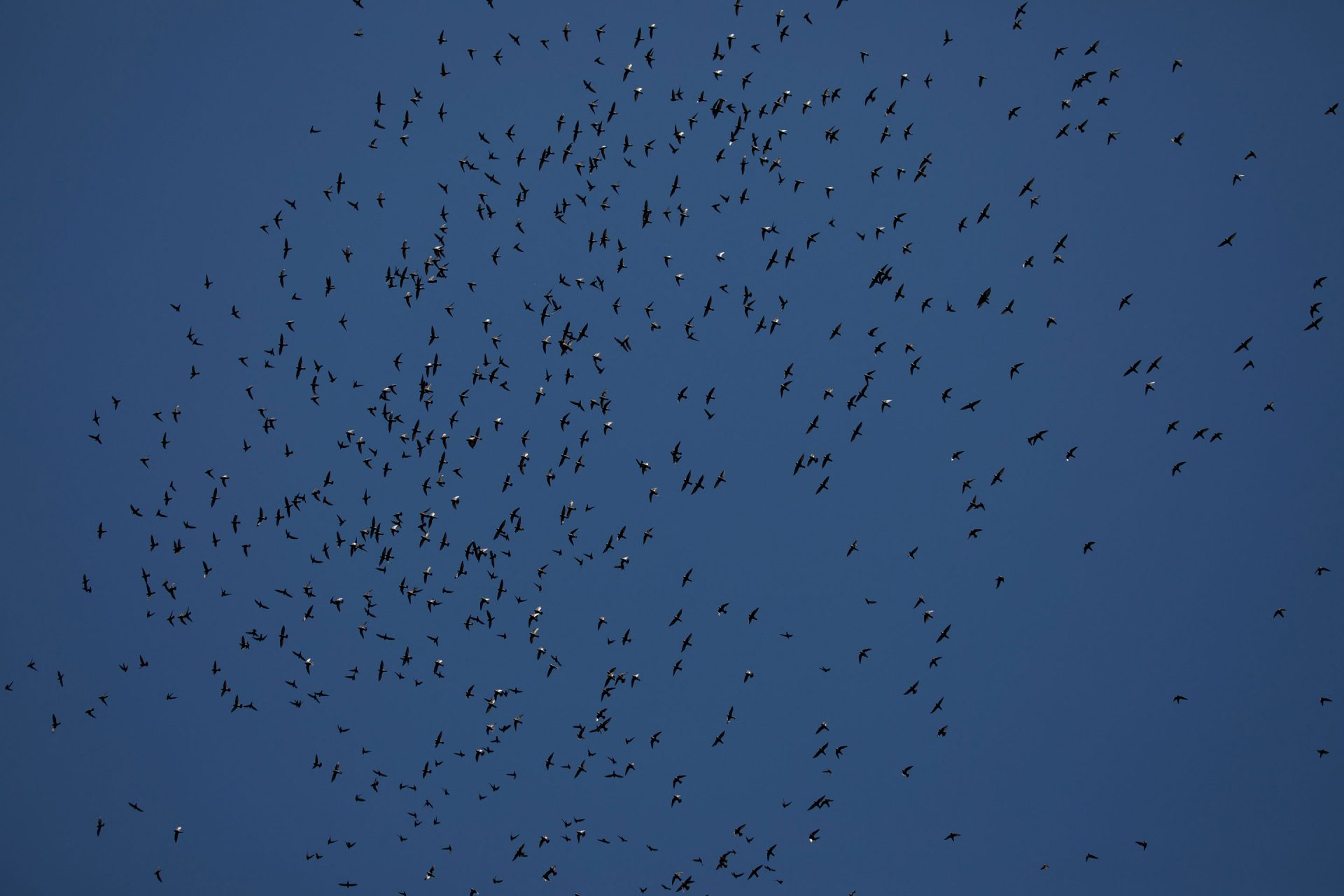A flock of Great Dusky Swift.