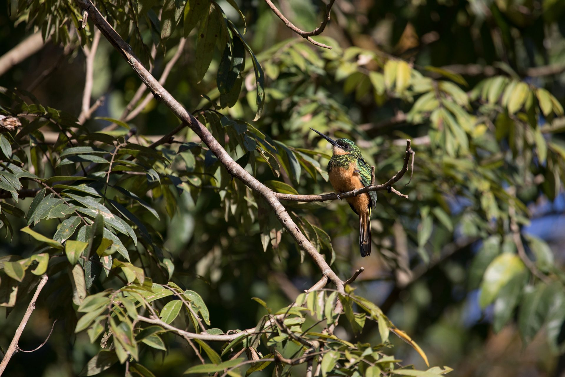 Rufous-Tailed Jacamar was also common at our Pousada.