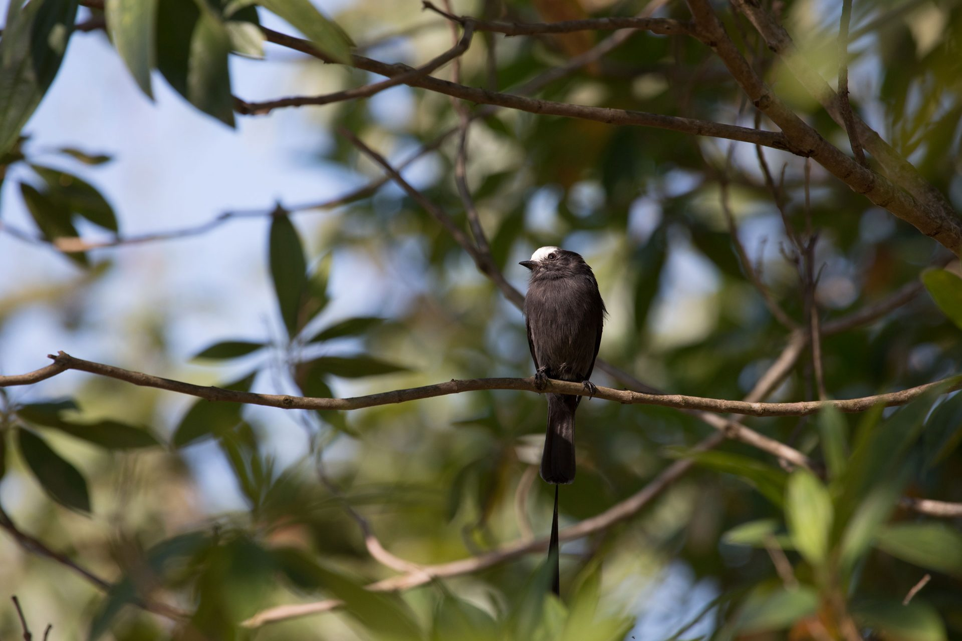Long-Tailed Tyrant in a fruiting tree.