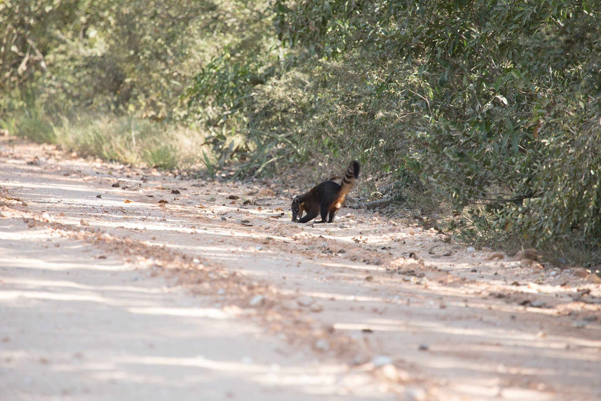 We saw many mammals crossing the road like this coati.