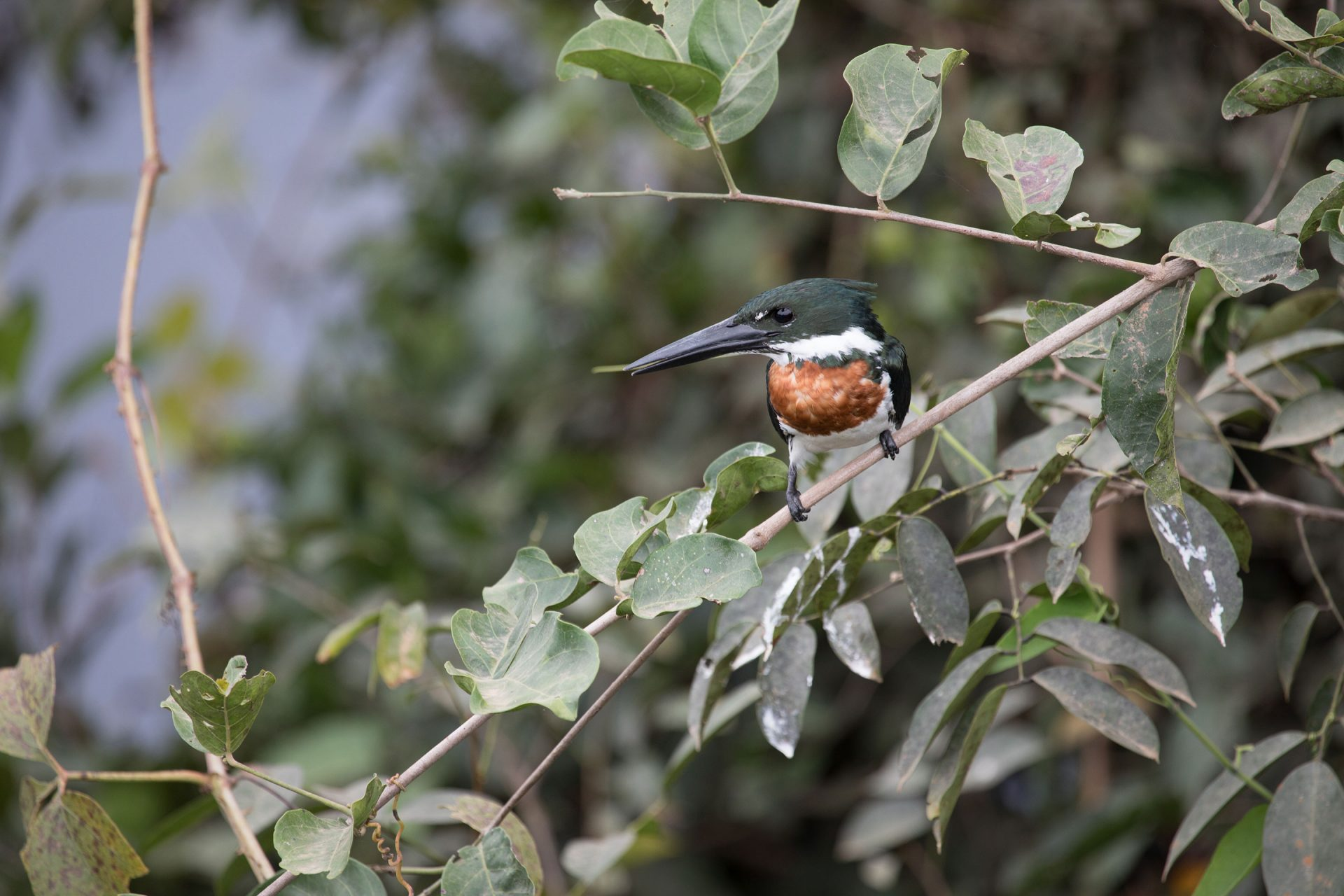 Male Amazon Kingfisher
