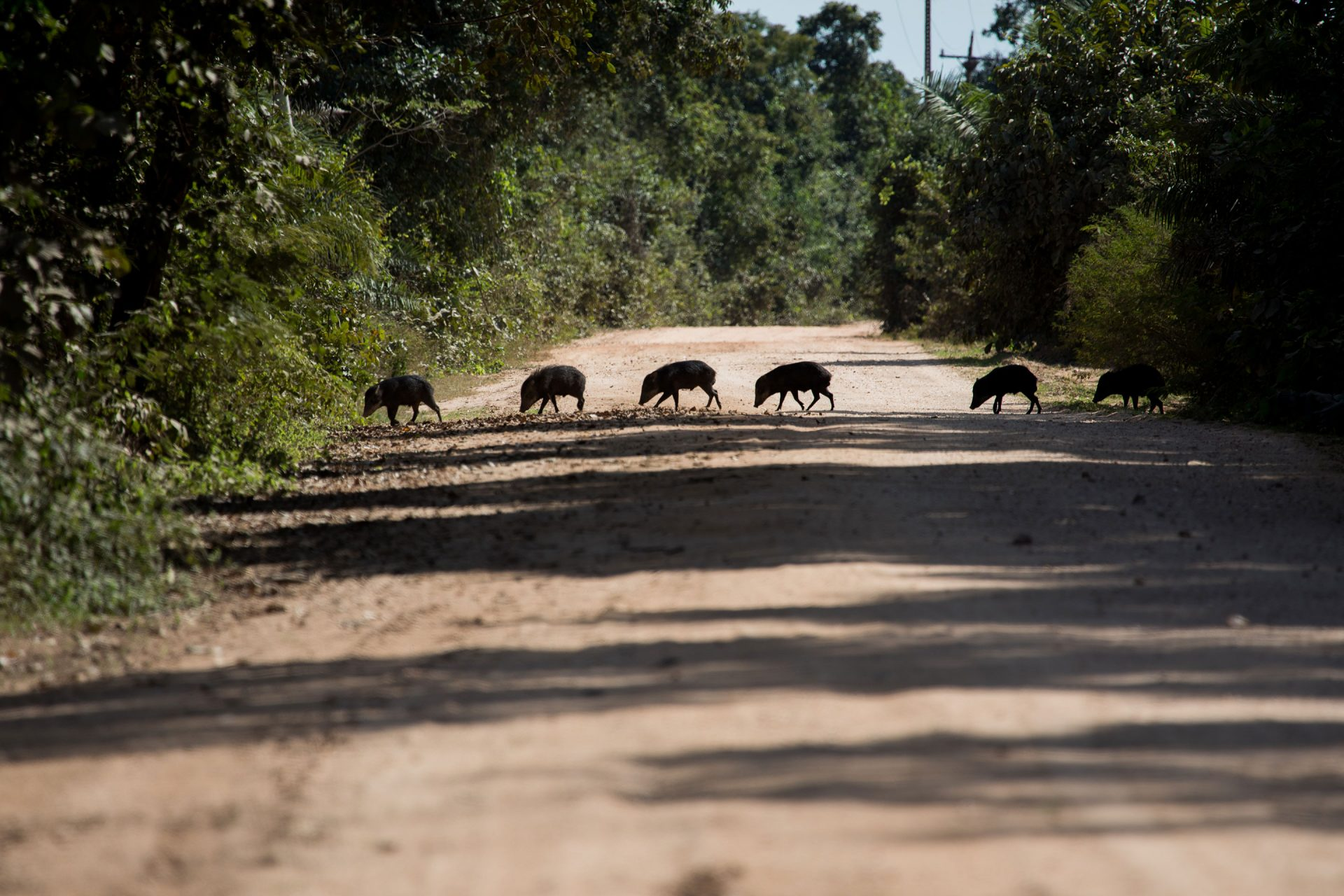 White-lipped peccary crossing the transpantaneira.