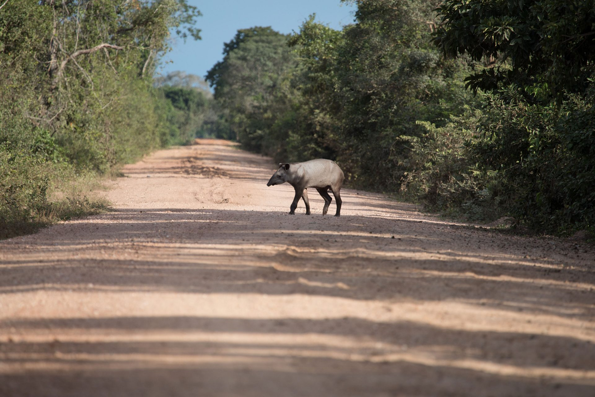 Brazilian Tapir crossing.