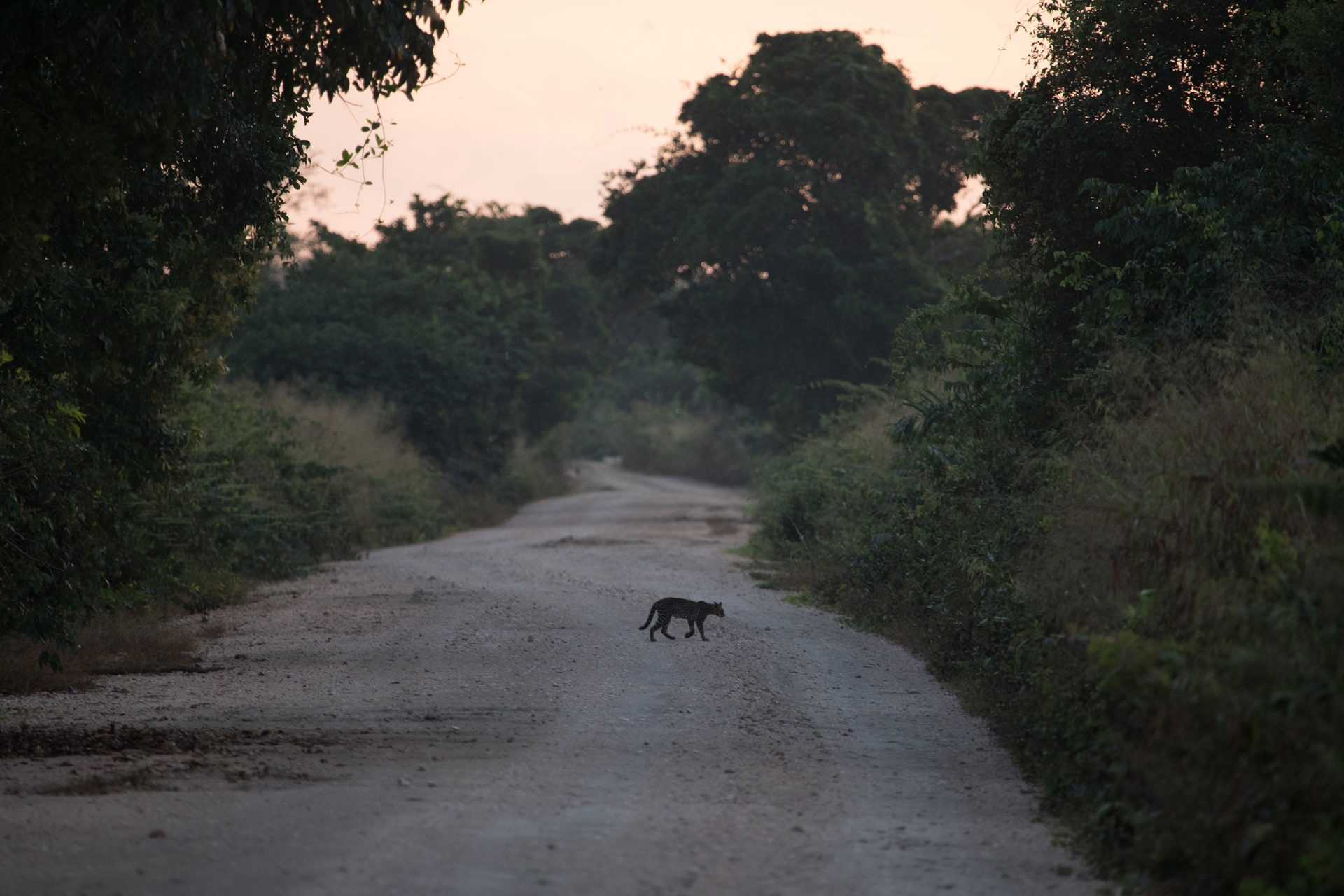 We encountered Ocelot crossing the road up to five times while birdwatching.