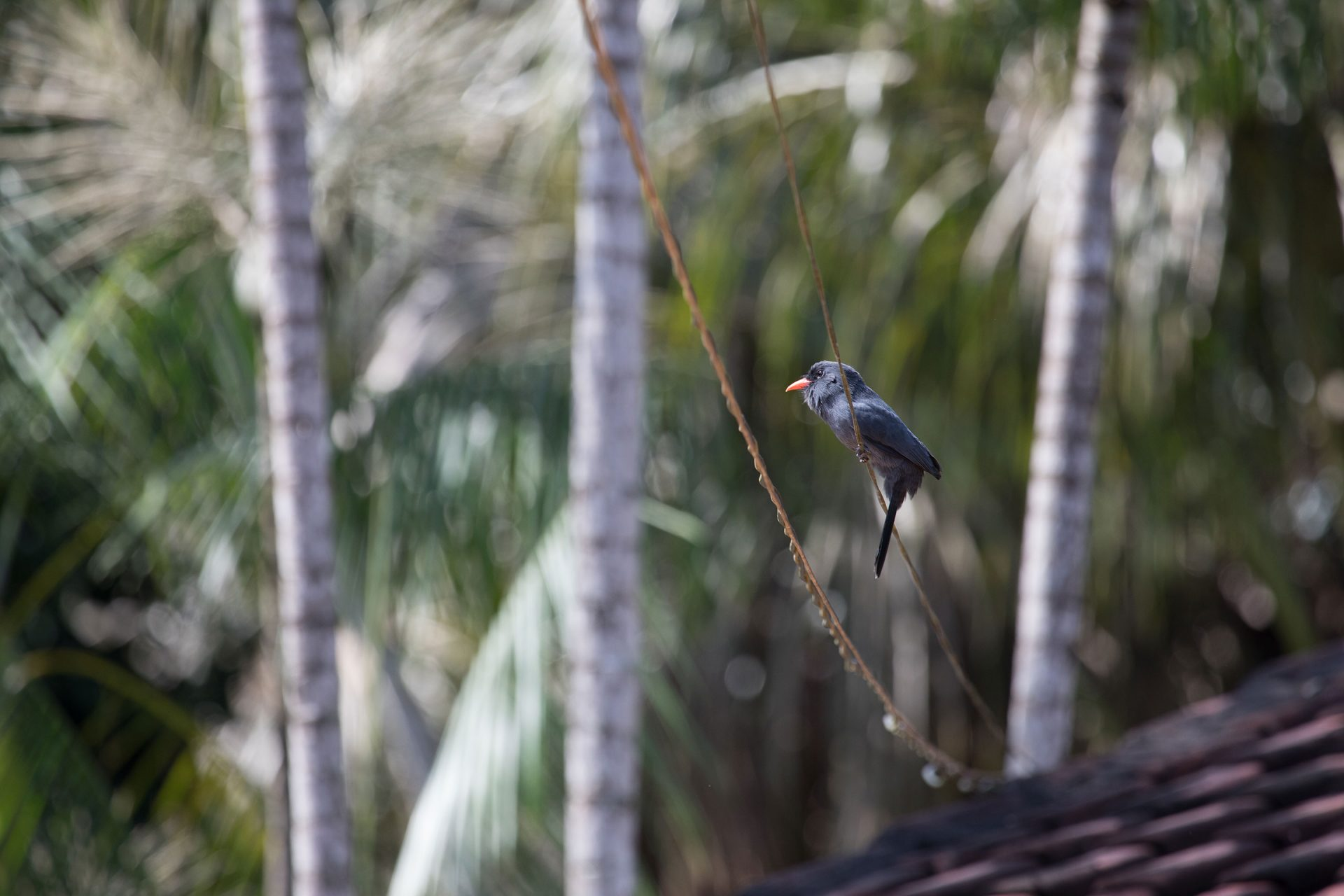 Nunbird were common at the Jardim Amazonia Lodge.