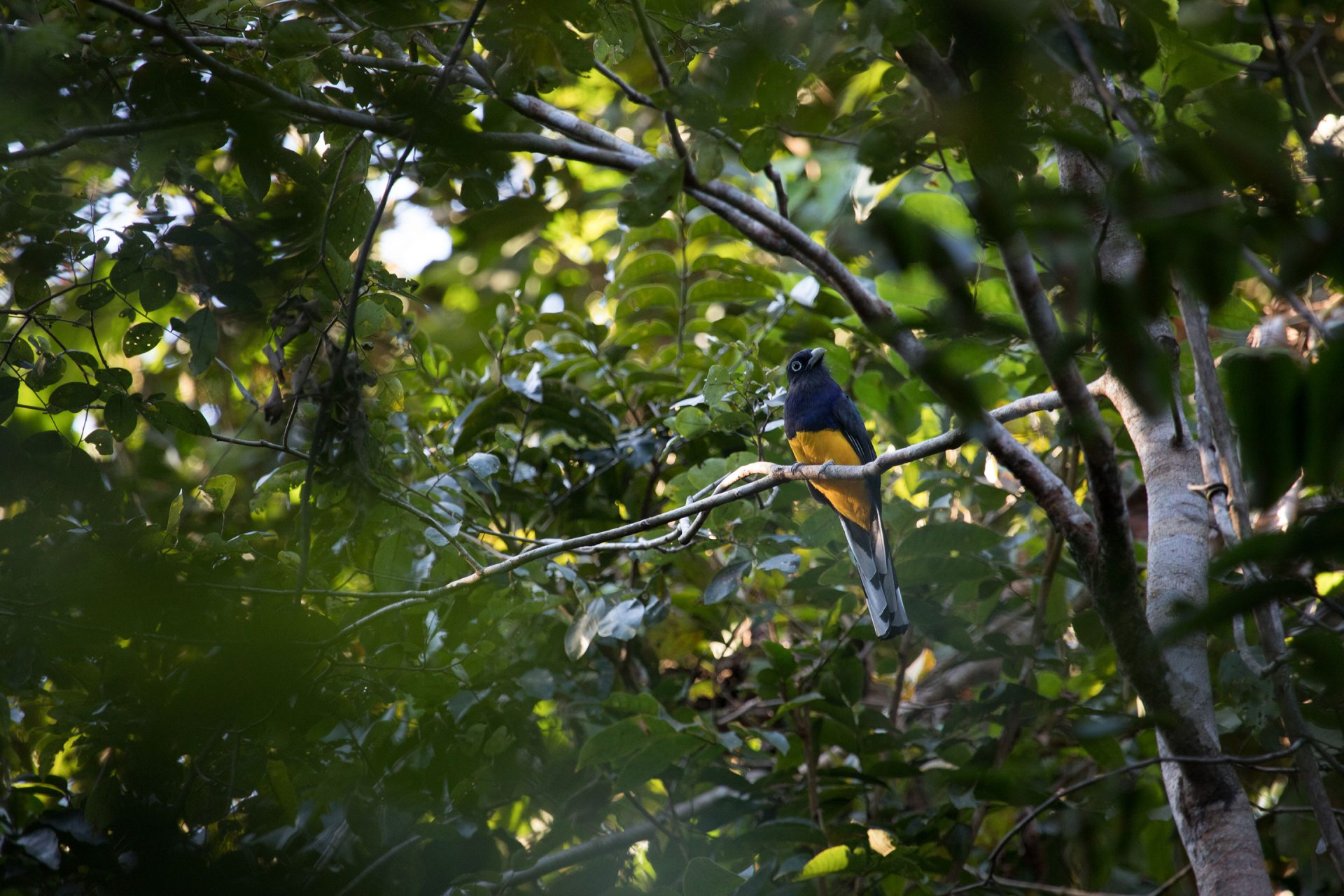 Amazonian White-Tailed Trogon.