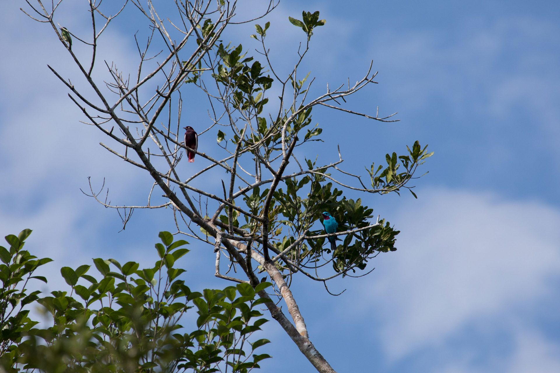 Two cotinga species one tree! Pompadour Cotinga (left) and Spangled Cotinga (right).