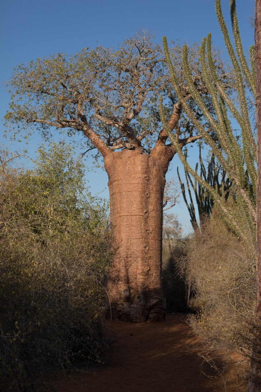 Fony Baobab is found in dry forest below 300 m elevation. It is one of the smaller baobab species and features distinctive reddish bark.